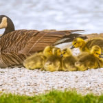 A goose and her goslings near the water