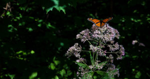 Butterfly atop flowers outside Christy Woods.